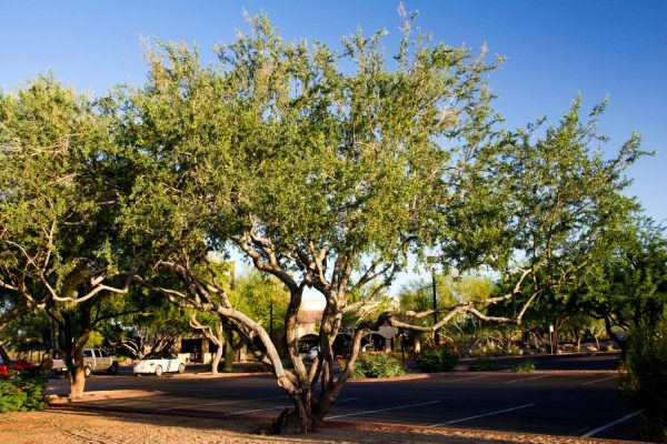 Desert Ironwood Tree (Olneya tesota)