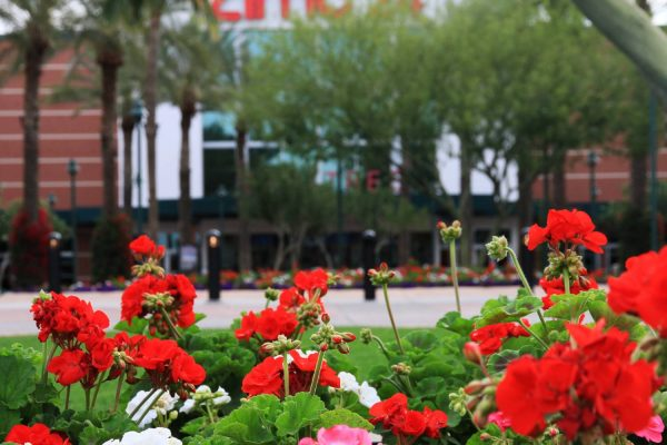 Geraniums at AMC 24