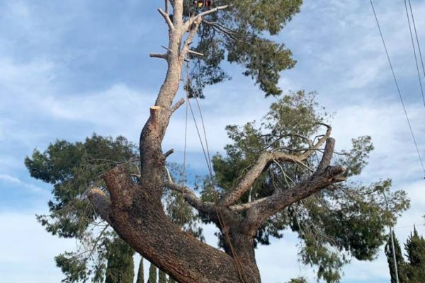 Removing Large Pine Tree 2