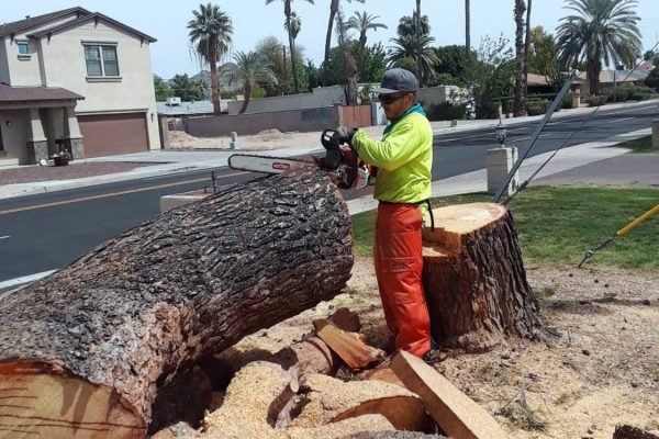 Removing Large Pine Tree 4